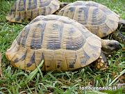 content/attachments/574-testudo-hermanni-pascolo.jpg.html