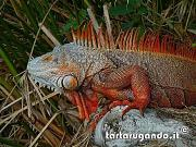 content/attachments/7514-iguana-iguana.jpg.html