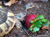 Ugo_eating_a_strawberry.jpg