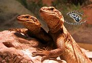 content/attachments/10399-sauromalus-ater-1.jpg.html