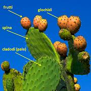 content/attachments/12072-opuntia.jpg.html